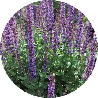 Propozycje roślin do ogrodu w stylu francuskim - prowansalskim