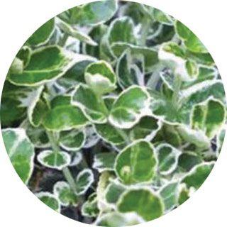 Propozycje roślin do ogrodu inspirowanego Grenlandią